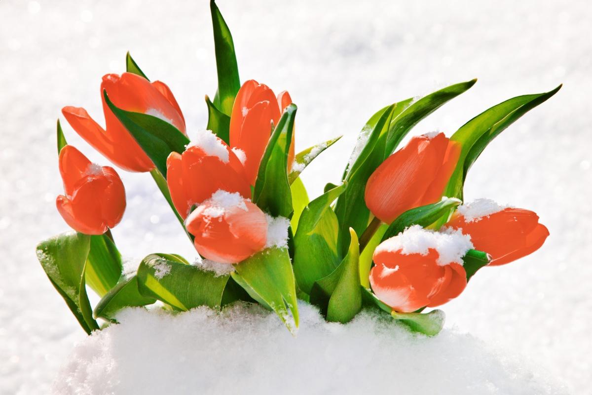 Как заставить тюльпаны цвести среди зимы.