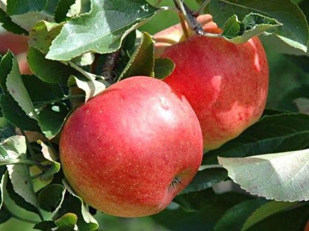Интересное о яблоках