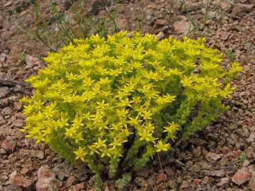 Растение в саду – ОЧИТОК – сорта, уход и выращивание