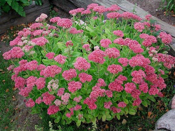 Растение в саду – ОЧИТОК – сорта, уход и выращивание. Растение в саду – ОЧИТОК – 3