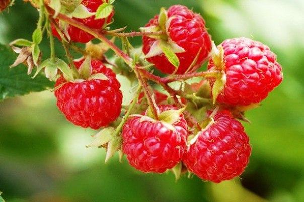 Как увеличить в 10 раз урожай малины, и в два - смородины