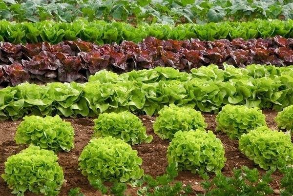 7 особенностей выращивания листового и кочанного салата