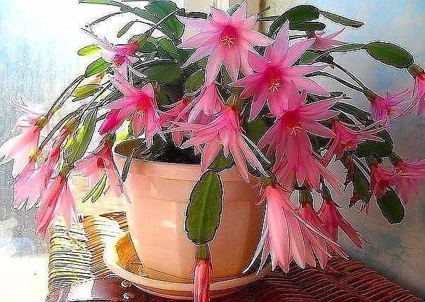 Маленькая хитрость: чтобы цветы в доме цвели пышно и долго
