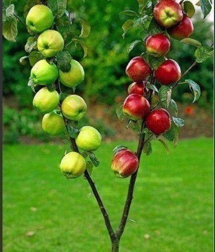 Три сорта на одной яблоне - это красиво и удобно
