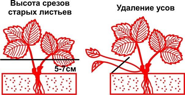 Обрезка листьев и усов клубники- когда, как и зачем?