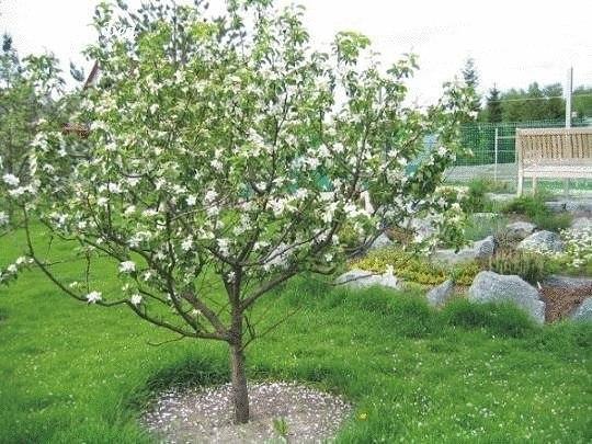 Молодые яблони: приближаем плодоношение