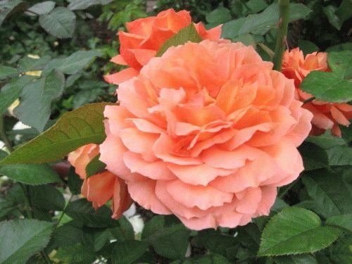 Как правильно посадить розы новичкам