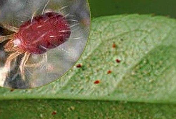 Опасные вредители рассады и взрослых растений