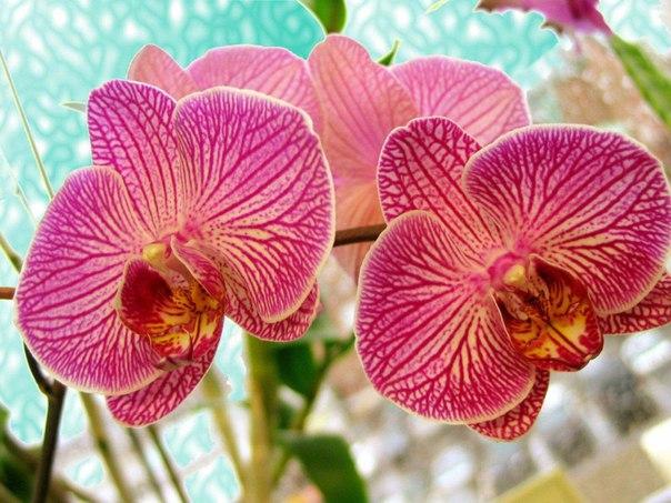 Ошибки ухода за орхидеями