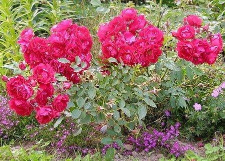 Не сажаете канадскую розу? Напрасно. Не сажаете канадскую розу 3