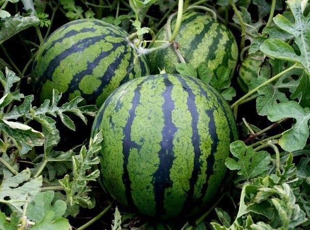Трудно ли ухаживать за арбузами, выращиваемыми в теплице?