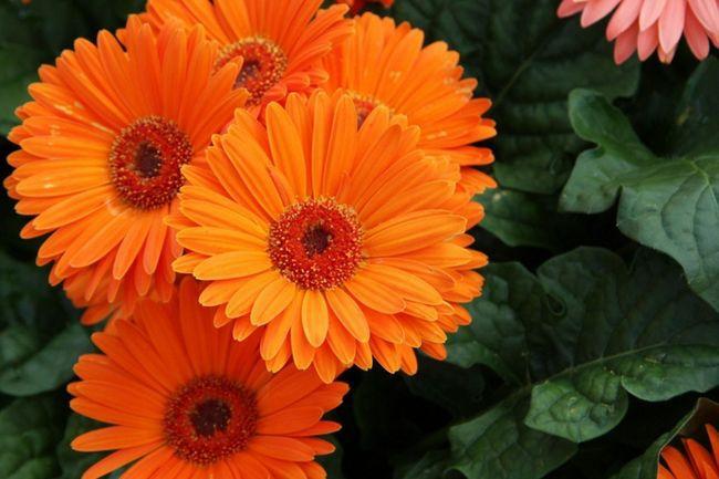Гербера: любимая ромашка растет дома и в саду. 14322.jpeg