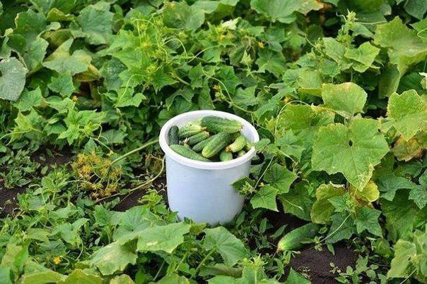 Растворы для урожая огурчиков.