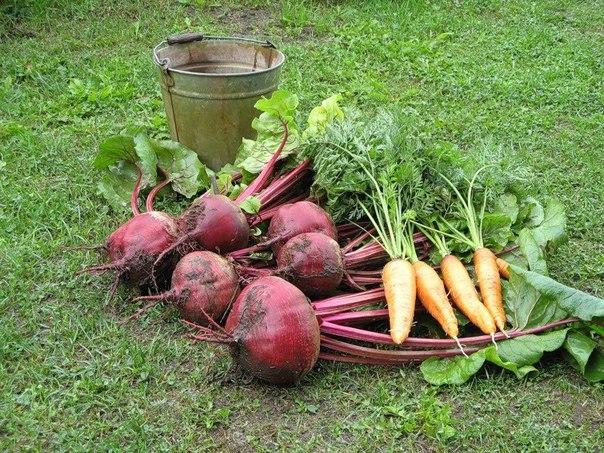 Чтобы свекла и морковь были сладкими. 13328.jpeg