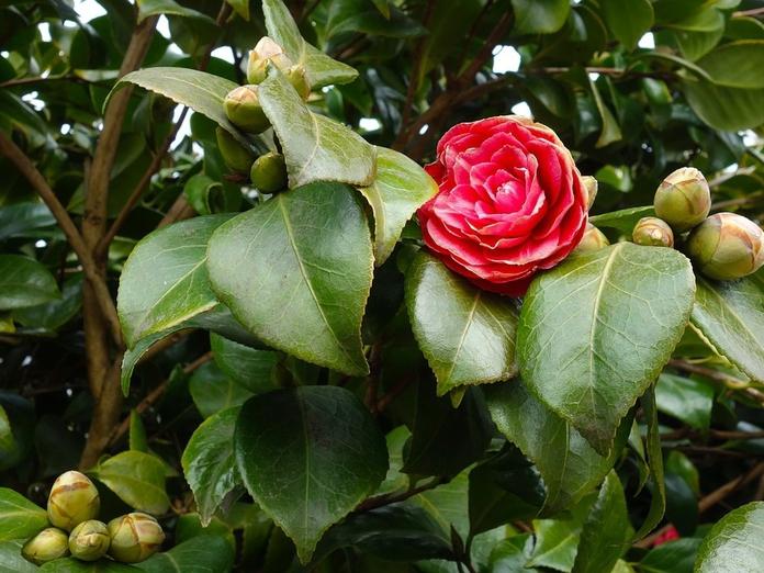 ТОП-5 цветущих кустарников для тени и кислых почв. 14421.jpeg