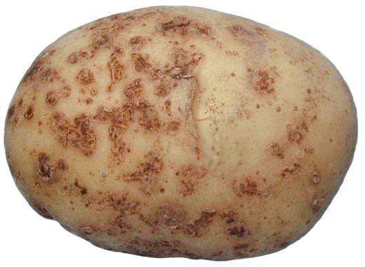 Болезни и вредители картофеля. 13444.jpeg