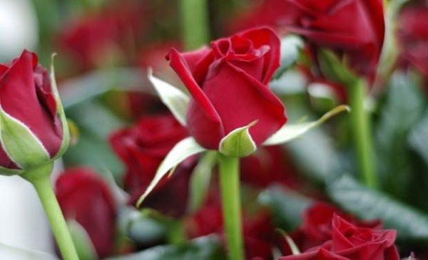 Почему я обрезаю розы только весной. 14460.jpeg