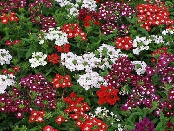 Что важно не забывать делать для цветения Вербены
