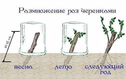 Черенковать можно почти все растения. Пробуем