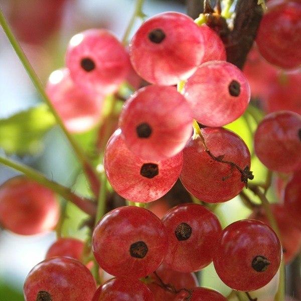 Сорта смородины с крупными ягодами
