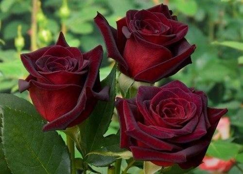 вораст имеет значение: Как правильно подкормить розы