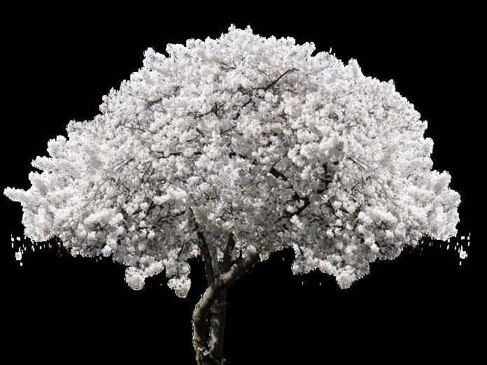 Капризная вишня: Как создать вишневый сад. 14510.png