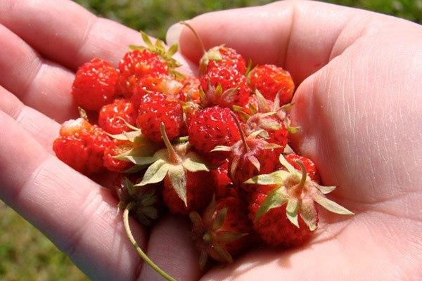 Почему клубника становиться мелкой: четыре причины