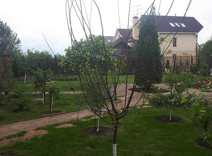 Топ-5 худших питомников растений. алыча из питомника растений Зеленый дворик Валентины Кривошеевой