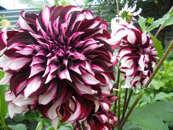 Георгины – роскошные растения с длительным сроком цветения