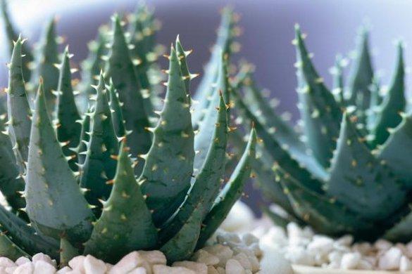 6 лучших растений для ленивых садоводов. алоэ