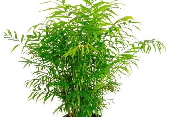6 лучших растений для ленивых садоводов. бамбуковая пальма