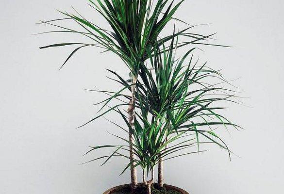 6 лучших растений для ленивых садоводов. драцена