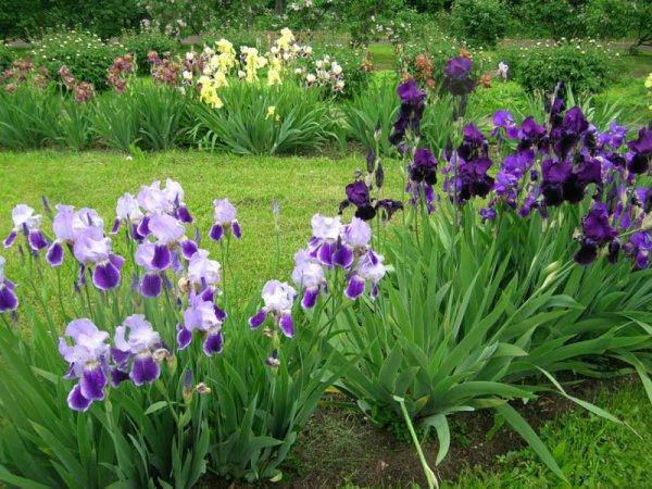 Ирисы в саду. 13547.jpeg