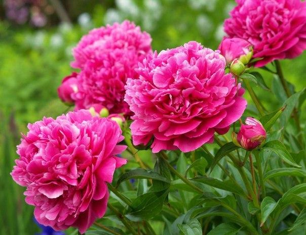 Причины, по которым не цветут пионы
