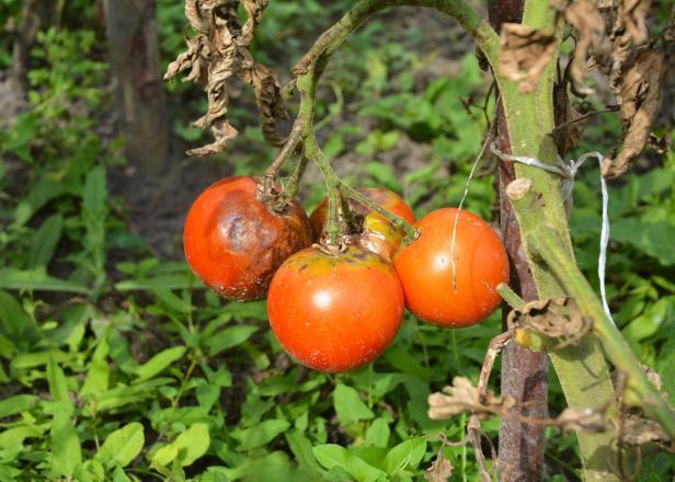 Предотвращаем болезни растений. 14580.jpeg