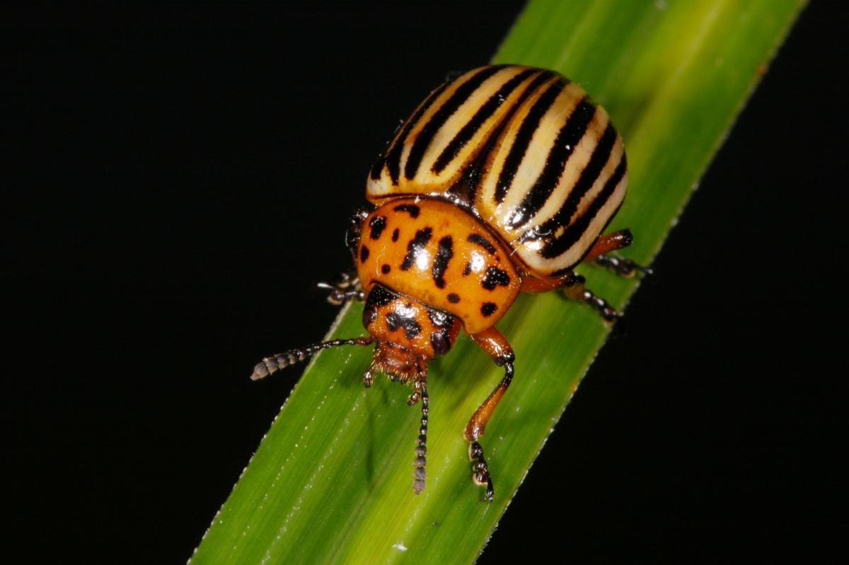 Как одолеть колорадского жука?. 14583.jpeg