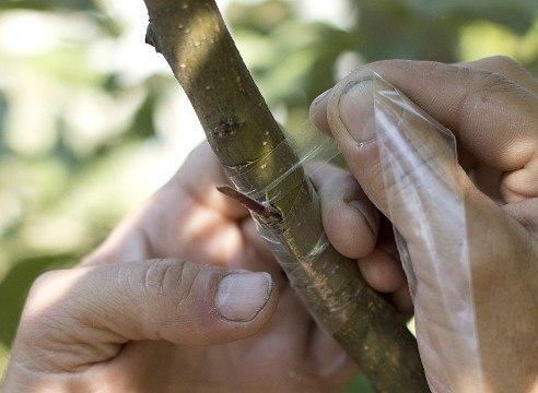 Прививка яблони летом: окулировка в кору. Прививка яблони летом 5