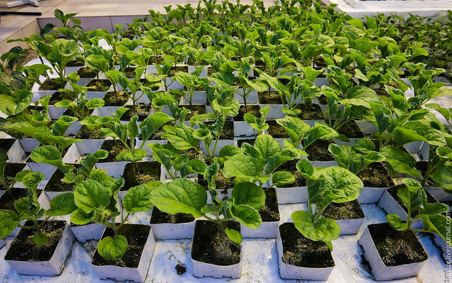 Как выращивать рассаду баклажан. 12616.jpeg
