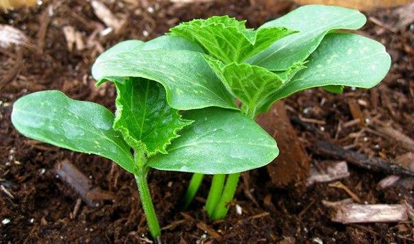Как подготовить огуречные семена к посеву правильно?
