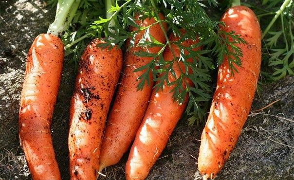 Морковные премудрости