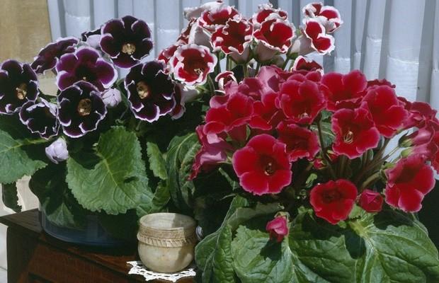 Как вырастить глоксинию из семян. 12631.jpeg