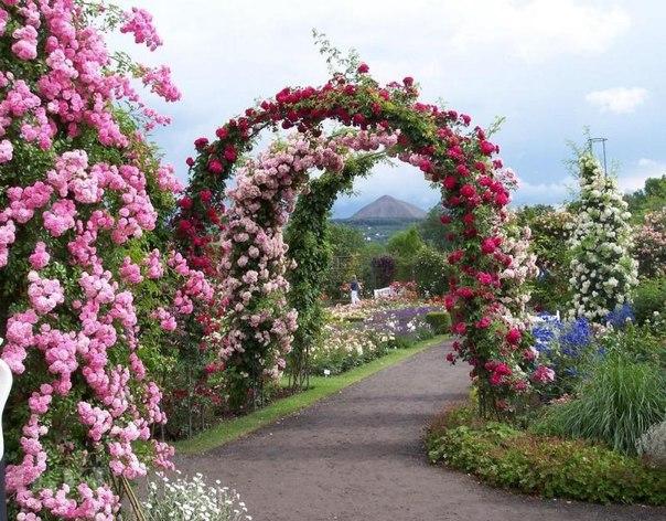 Почему плохо цветет плетистая роза?