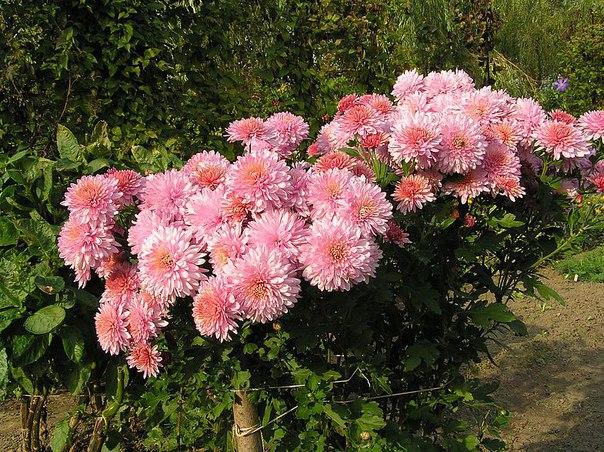 Хризантема корейская. Хризантема корейская 1