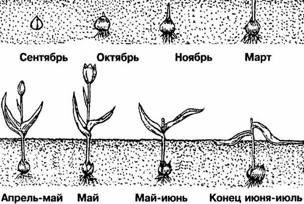 Посадка тюльпанов осенью в грунт