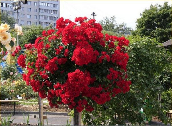 Штамбовые розы. Штамбовые розы 1