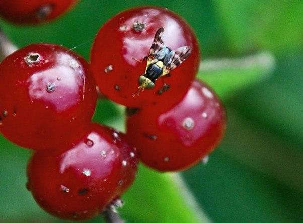 Червивая вишня: борьба с вишневой мухой