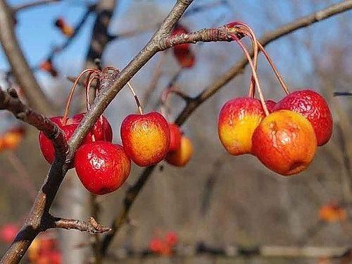 Подготовка плодовых деревьев к зиме. Подготовка плодовых деревьев к 1