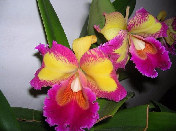 Основные условия цветения каттлеи. Основные условия цветения 1