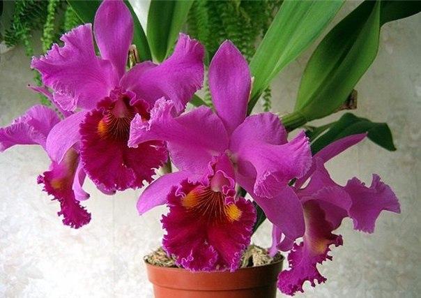 Основные условия цветения каттлеи. Основные условия цветения 2