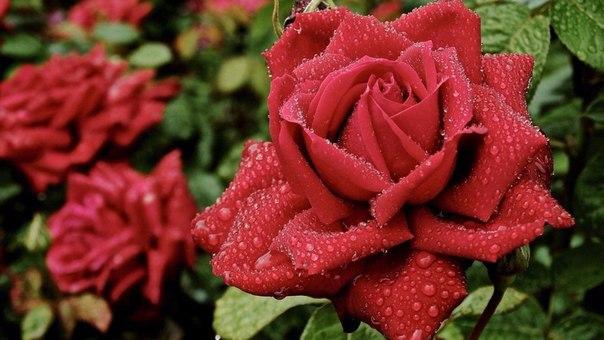 Как избавить от тли на розах народными способами